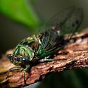 Cicada - Neotibicen