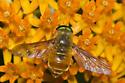 Horse Fly - Esenbeckia incisuralis - male