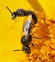 Bee - Pseudopanurgus - male - female