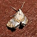Petrophila bifascialis - Two-banded Petrophila  - Petrophila bifascialis