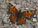 Comma 578A 0910 & 0916 - Polygonia faunus