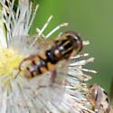 Lejops lineatus - male