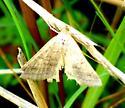 unknown  - Caenurgia chloropha