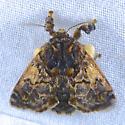 Hag Moth - Phobetron pithecium