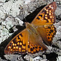 Tawny Emperor - Asterocampa clyton - male