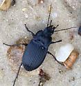 Black Beetle #1 - Dicaelus dilatatus
