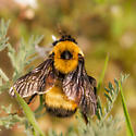 Bumble Bee - Bombus nevadensis - female