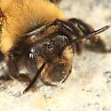 bee - Andrena carlini - female