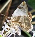 Heliopetes laviana  - Heliopetes laviana - female