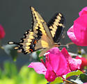 Beautiful Butterfly - Papilio cresphontes