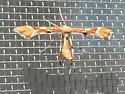 Plume Moth -  - Cnaemidophorus rhododactyla