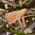 Phytometra ernestinana-8480 - Phytometra ernestinana