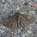 Dasychira sp. - Dasychira grisefacta - male