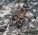 Fly with Black Eyes and Grey-Black Spotted Body - Rhagio - female