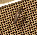 female - Ochlerotatus togoi - female