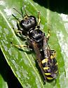 Wasp ID please.. - Ectemnius cephalotes