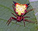 Spiny Spider - Micrathena sagittata