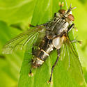 Tachinidae - Tachinomyia - male