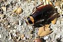 Australian Cockroach - Periplaneta australasiae