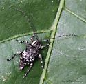 Longhorn Beetle - Astylopsis macula