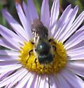 Hymenoptera 7-13-11 01b - Osmia coloradensis