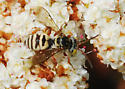 Orange County Bees & Wasps #152 - Triepeolus