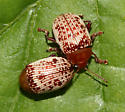 Chrysomelidae - Blepharida rhois