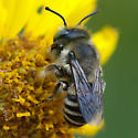 ID for a bee on Encelia? - Megachile