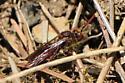 Possible Digger Wasp - Nomada