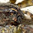 Wolf Spider? - Tigrosa aspersa - female