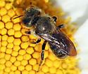 Black or Dark Green Bee - Osmia coloradensis - female
