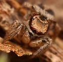 juvenile jumping spider - Habronattus viridipes - male