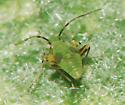 Garden Fleahopper nymph - Microtechnites bractatus
