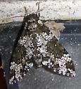 Rustic Sphinx Moth - Manduca rustica