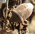 Pentatomid - Euschistus variolarius