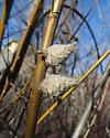 Willow Pinecone Galls - Rabdophaga strobiloides