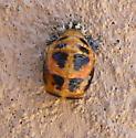 Beetle - Harmonia axyridis