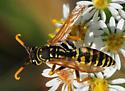 Polistes dominula - European Paper Wasp Male - Polistes dominula - male