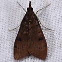 Unknown moth - Uresiphita reversalis