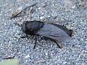 Newly emerged deer fly (Tabanus aegrotus) - Tabanus aegrotus - female