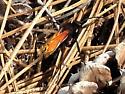 Tarantula Hawk Wasp - Hemipepsis ustulata - female