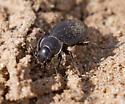 beetle - Carabus taedatus