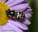 Syrphid - Dasysyrphus creper - female