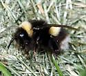 Bombus sp. - Bombus cryptarum - female