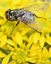 stable fly - Stomoxys calcitrans - female