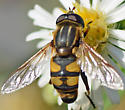 Hoverfly - Helophilus