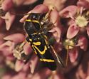 Beetle - Clytus ruricola