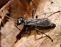 Crabronidae? - Anoplochares apicata