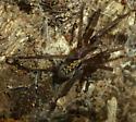 Ctenidae - Ctenus captiosus