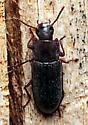 Beetle - Idiobates castaneus